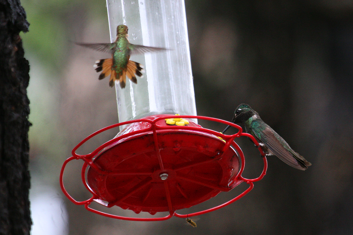 Rufous Hummingbird (left) and Magnificent Hummingbird