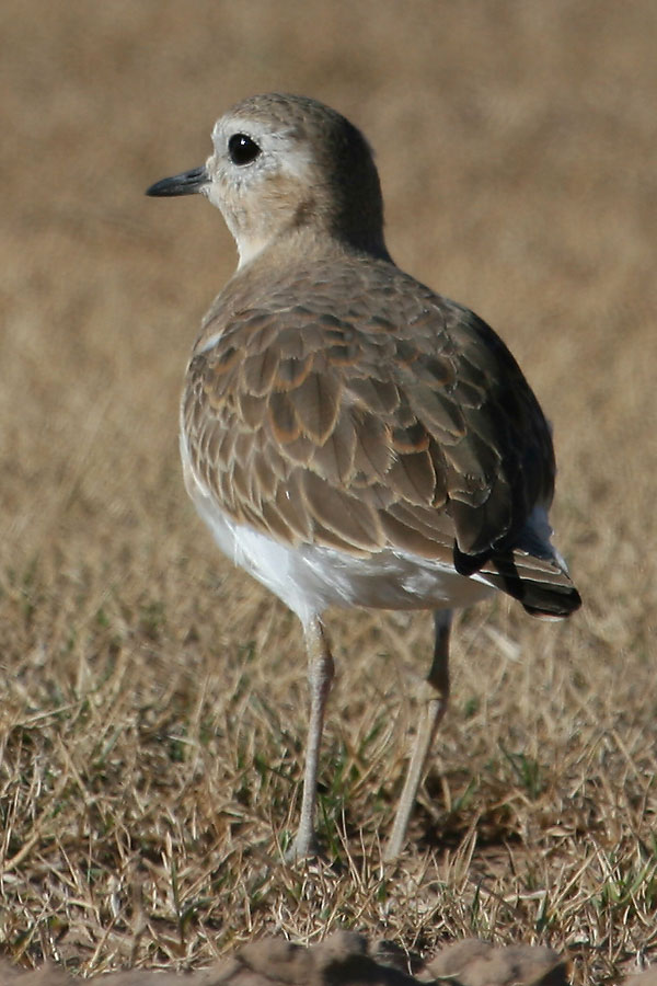 Mountain-Plover-Santa-Cruz-Flats-13-0210-02-ED