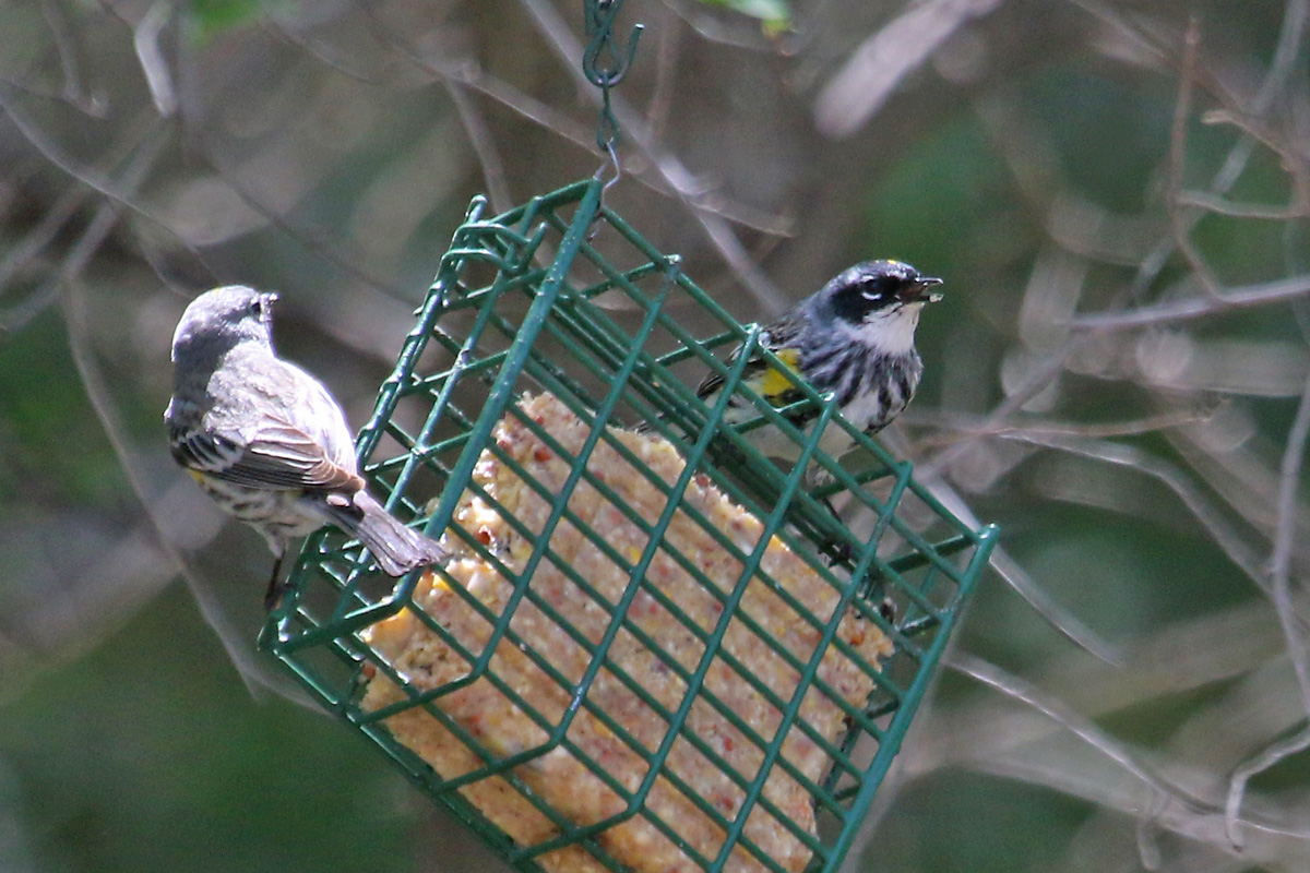 'Audubon's' (left) and 'Myrtle' (right) Yellow-rumped Warblers