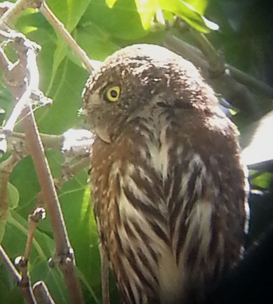 'Mountain' Northern Pygmy-Owl
