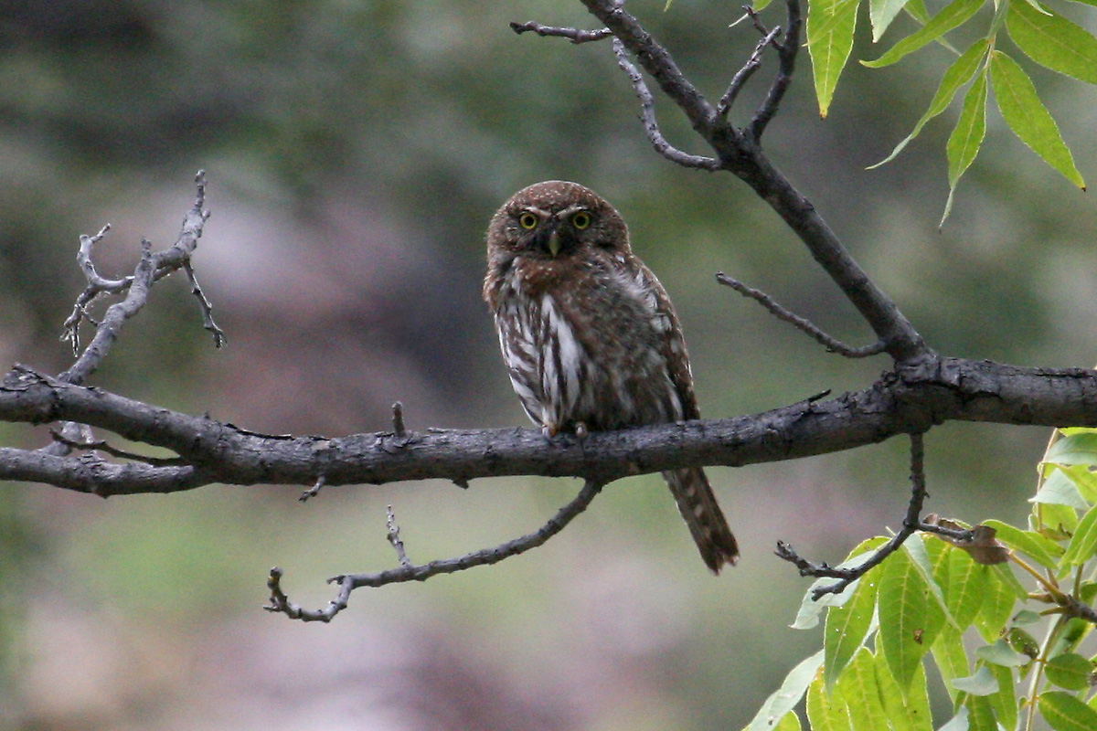 Northern Pygmy-Owl (Mountain Pygmy-Owl)