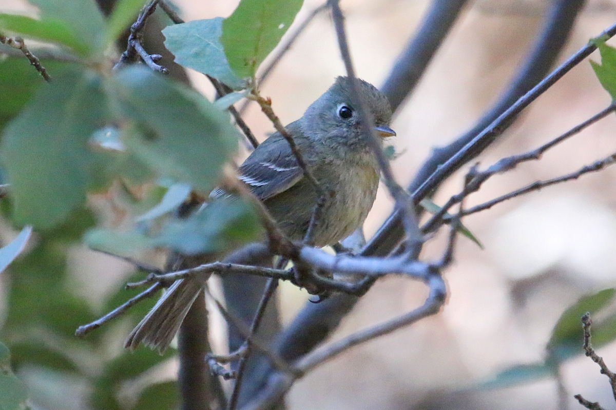 Pine Flycatcher