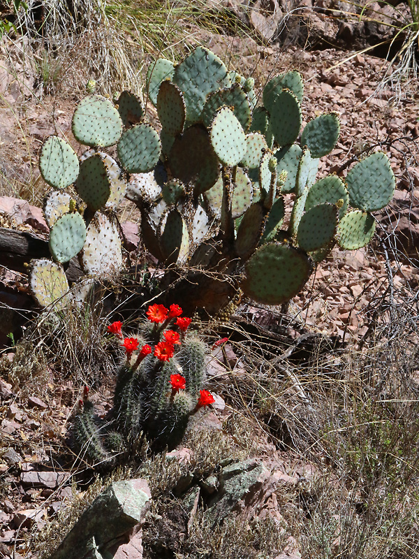 Prickly pear and Hedgehog cactus