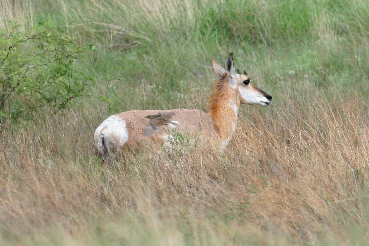Pronghorn (and 'Lilian's' Eastern Meadowlark)