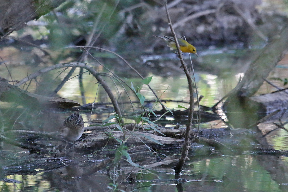 Prothonotary Warbler and Sora