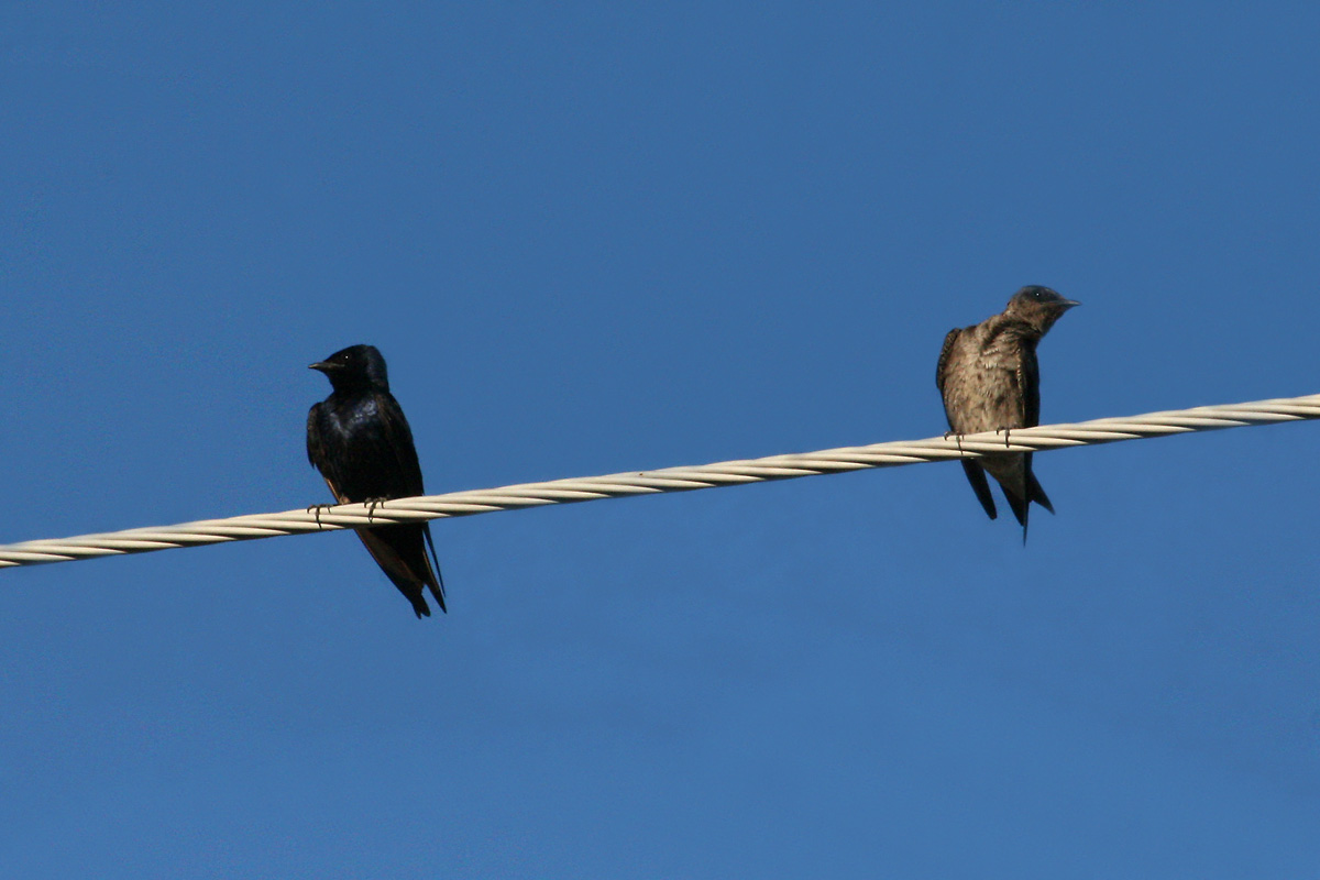 'Desert' Purple Martins
