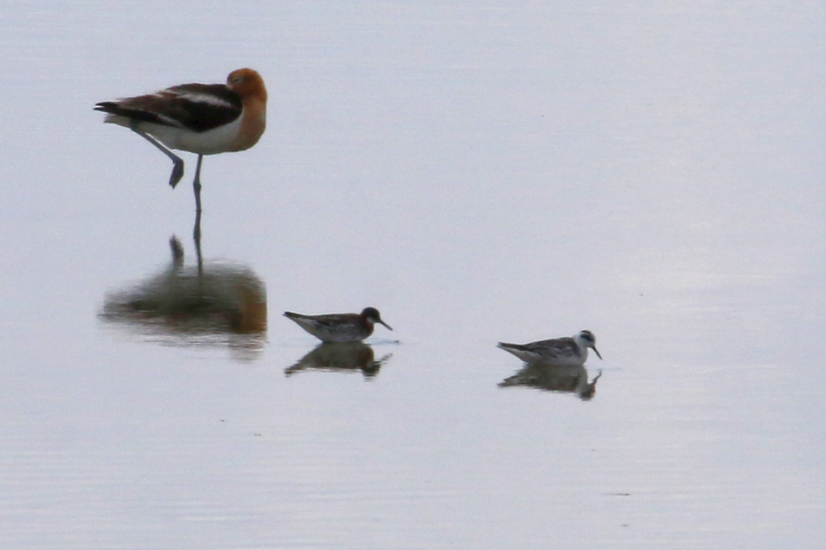 Red-necked Phalaropes with American Avocet (left)