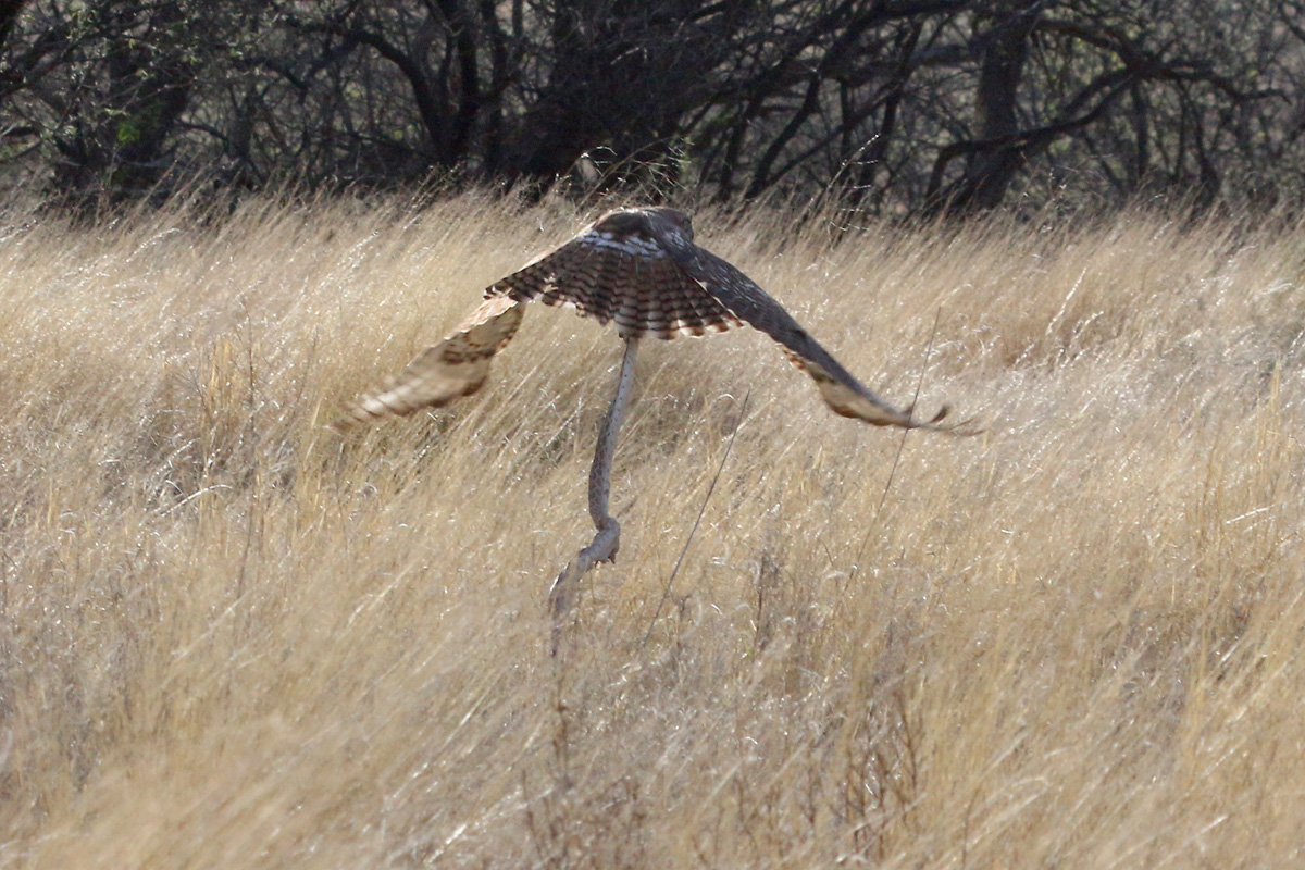 Red-tailed Hawk with Sonoran Gophersnake