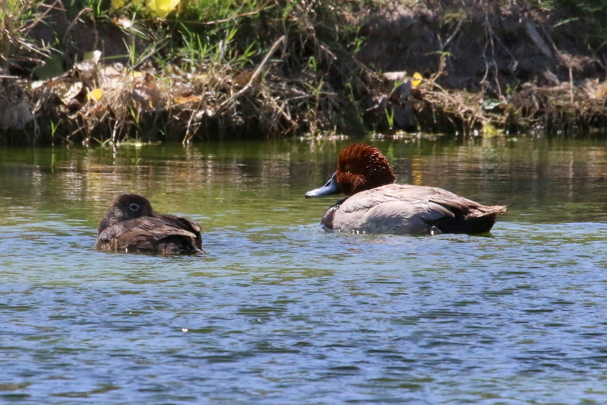 Ring-necked Duck (left) and Redhead