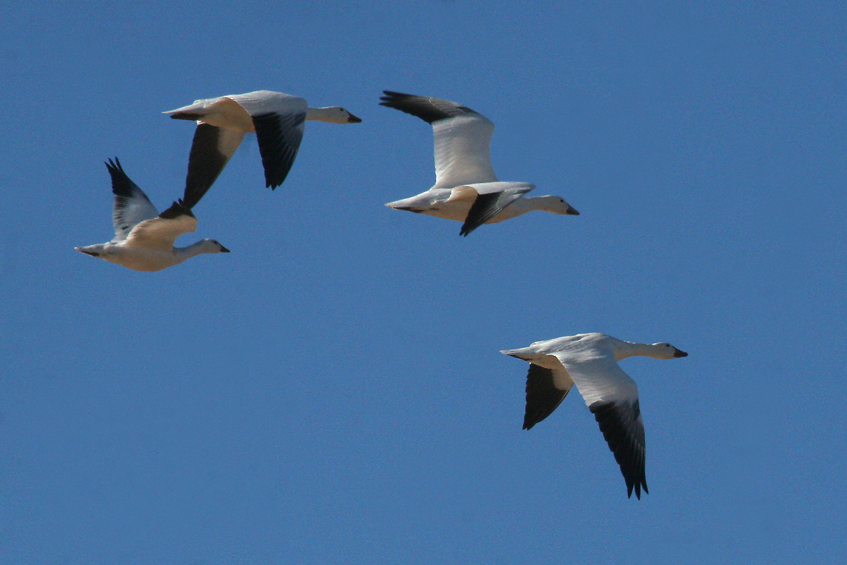 Snow Geese, with immature Ross's Goose (left)