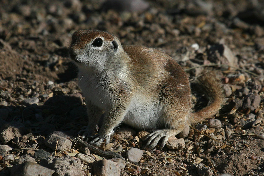 Round-tailed Ground-Squirrel