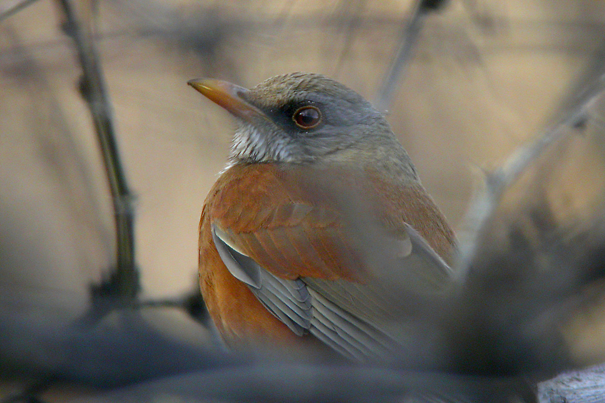 Rufous-backed Robin