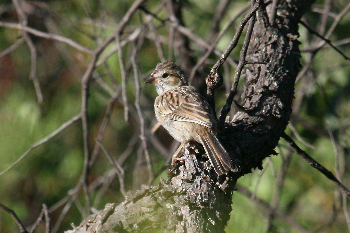 Juvenile Rufous-winged Sparrow