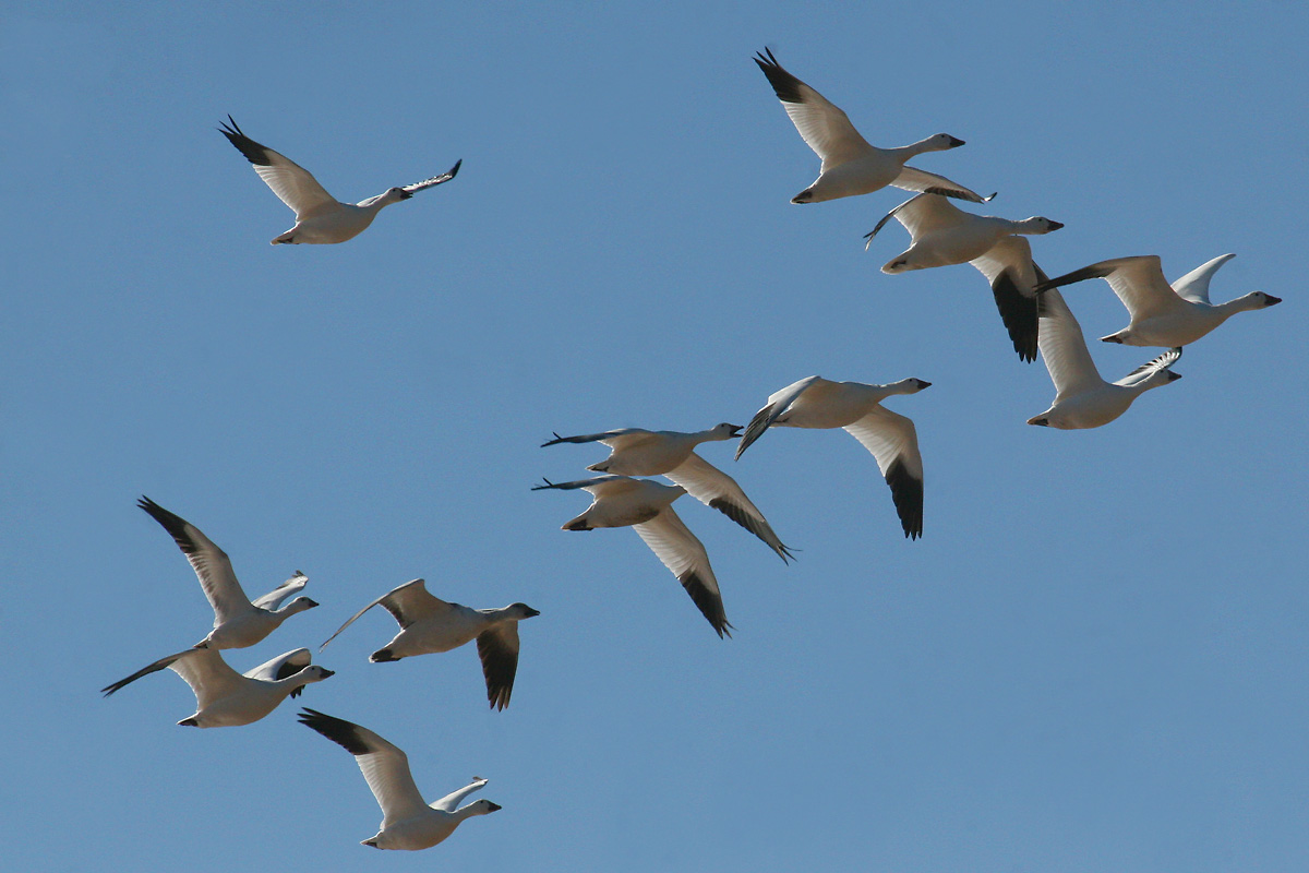 Snow Geese, with immature Ross's Goose (one up from bottom left)
