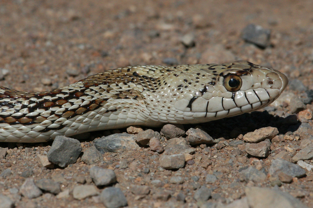 Sonoran Gophersnake