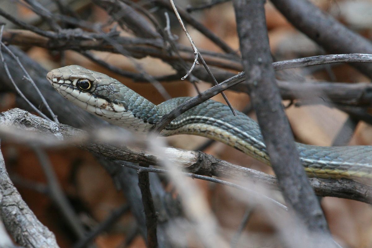 Sonoran Whiptail