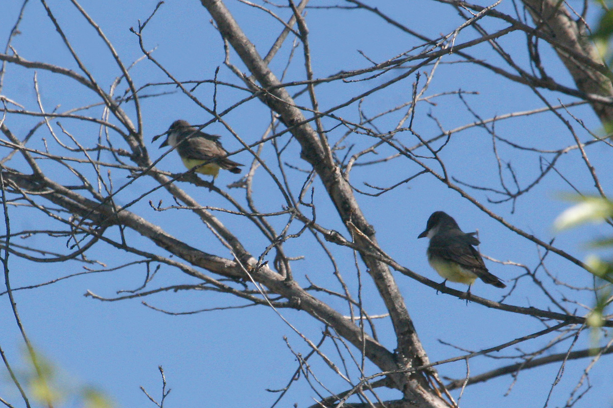 Thick-billed Kingbirds