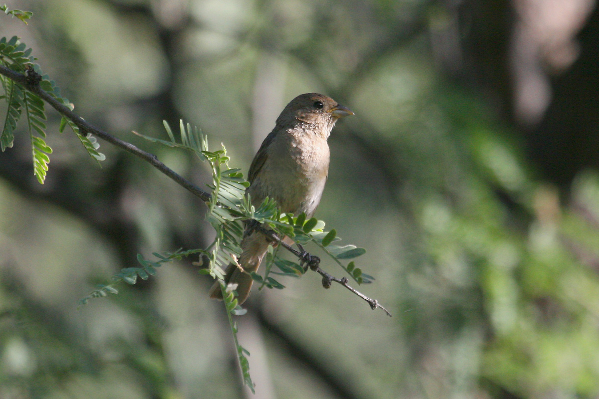 Adult female Varied Bunting