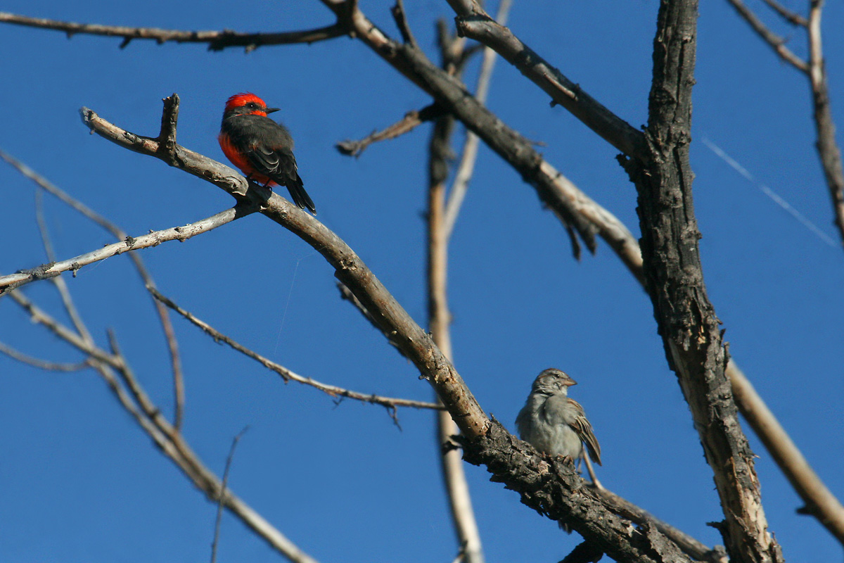 Vermilion Flycatcher and Rufous-winged Sparrow