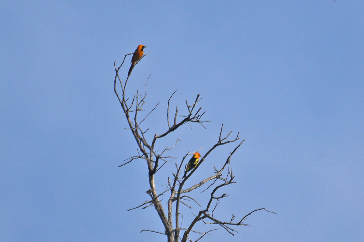 Hooded Oriole (top left) and Western Tanager (bottom right)