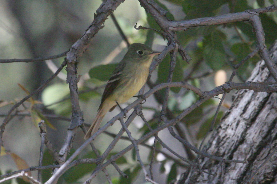 Western-type flycatcher