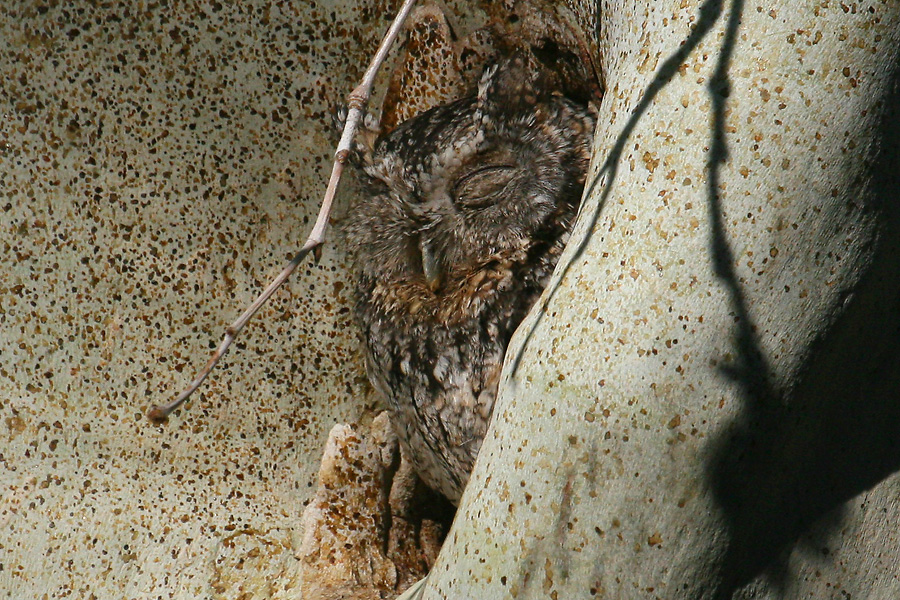 Adult, probably female, Whiskered Screech-Owl at nest hole