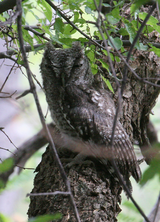Fledged juvenile Whiskered Screech-Owl