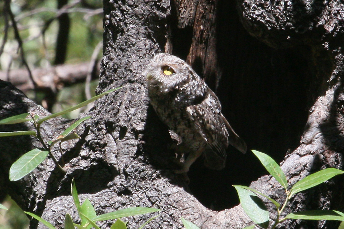 Adult, probably female Whiskered Screech-Owl at nest hole