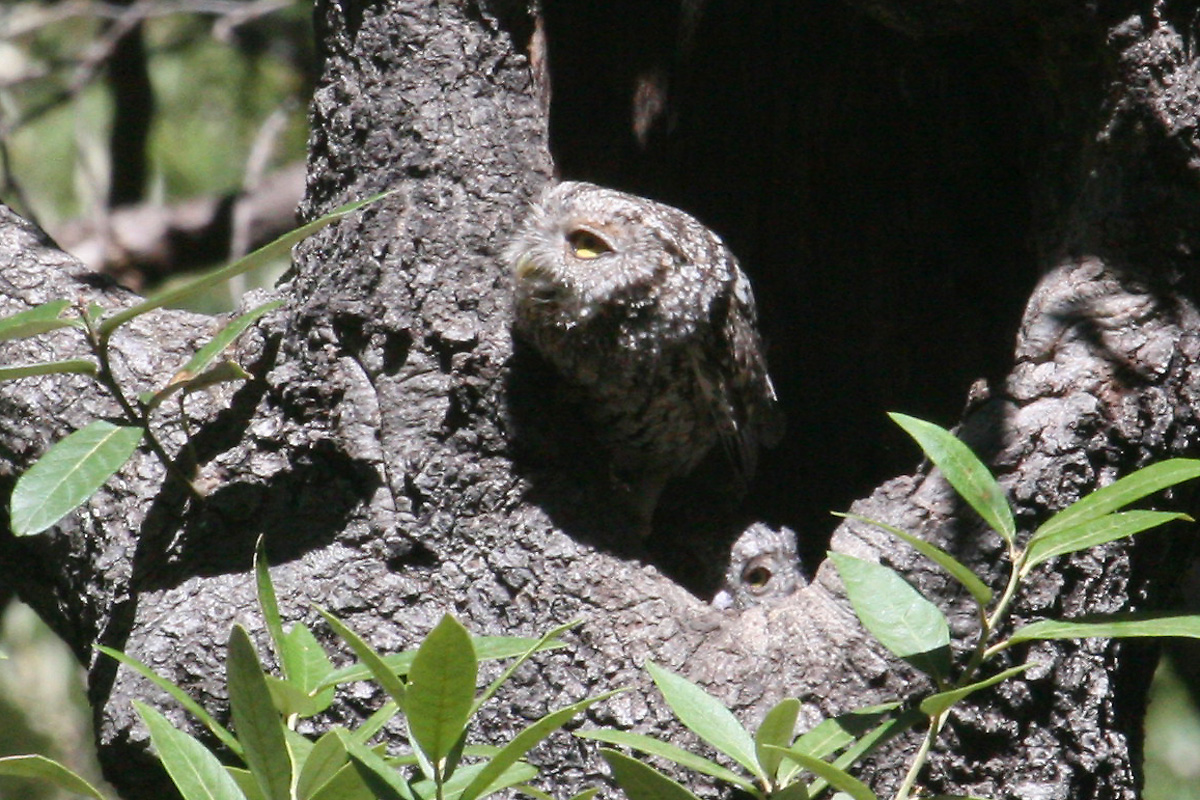 Adult, probably female Whiskered Screech-Owl at nest hole, with juvenile