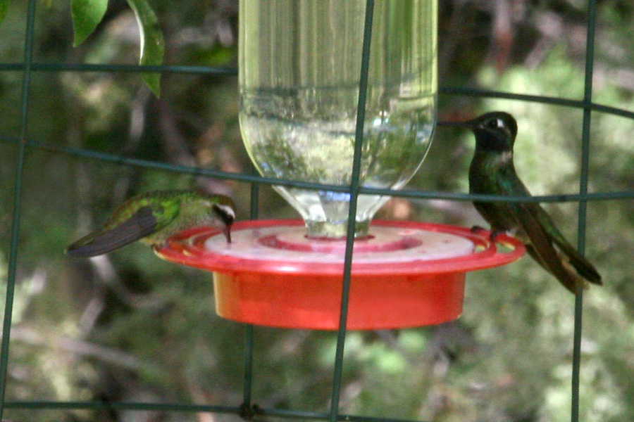 White-eared and Moagnificent Hummingbirds