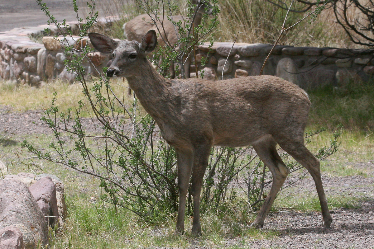 'Coues' White-tailed Deer