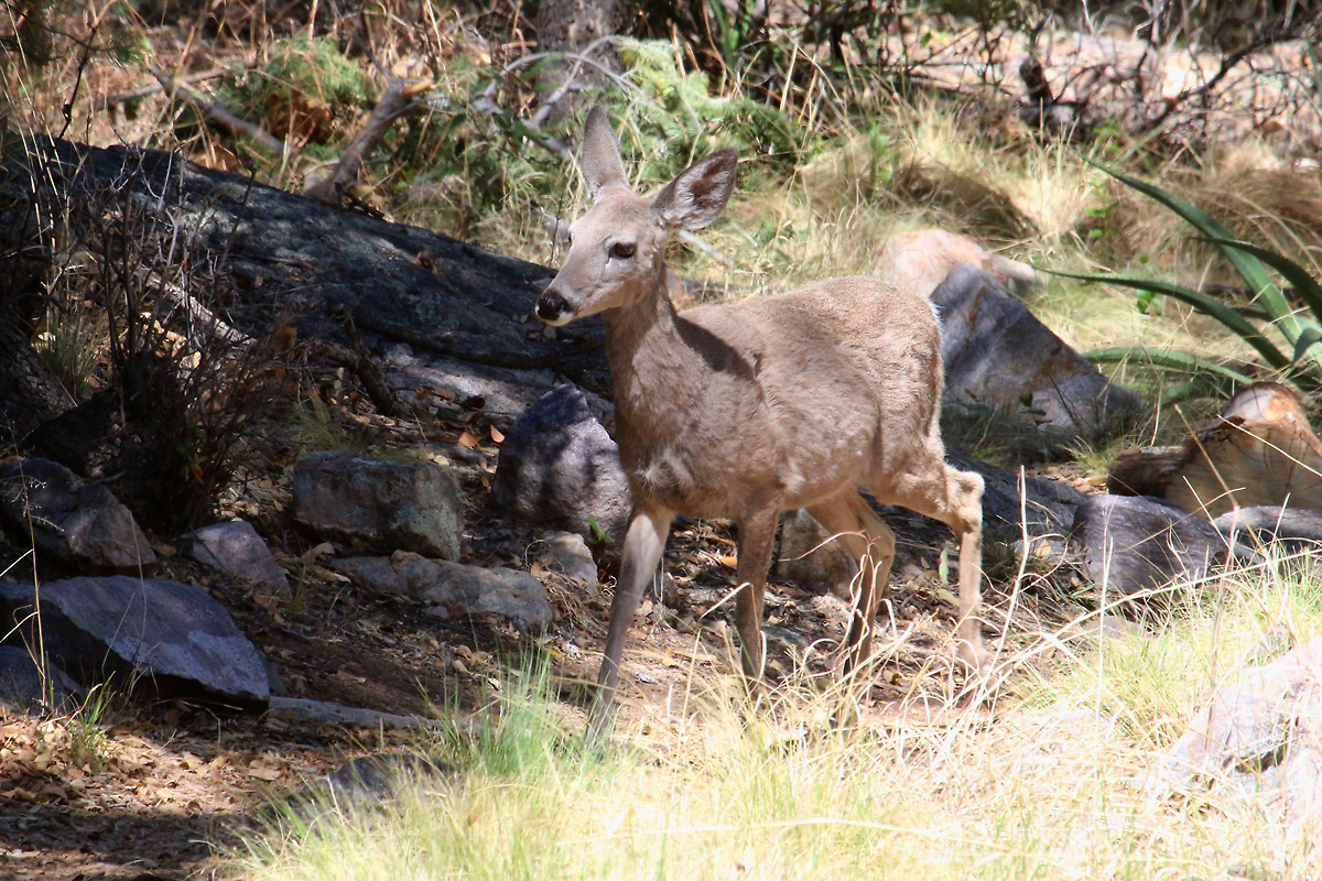 Coues White-tailed Deer