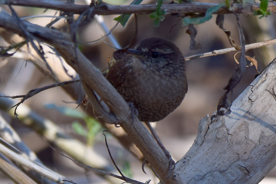 Winter Wren © Leslie DeGrassi