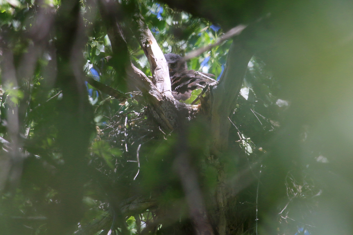 Zone-tailed Hawk on nest