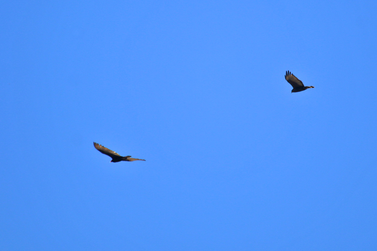 Turkey Vulture (left) and Zone-tailed Hawk