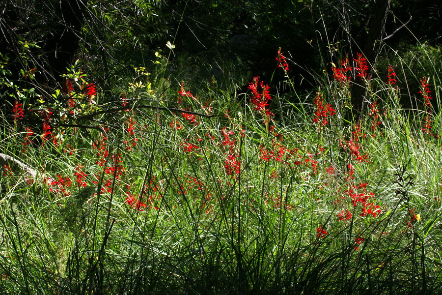 Flowers in Sycamore Canyon