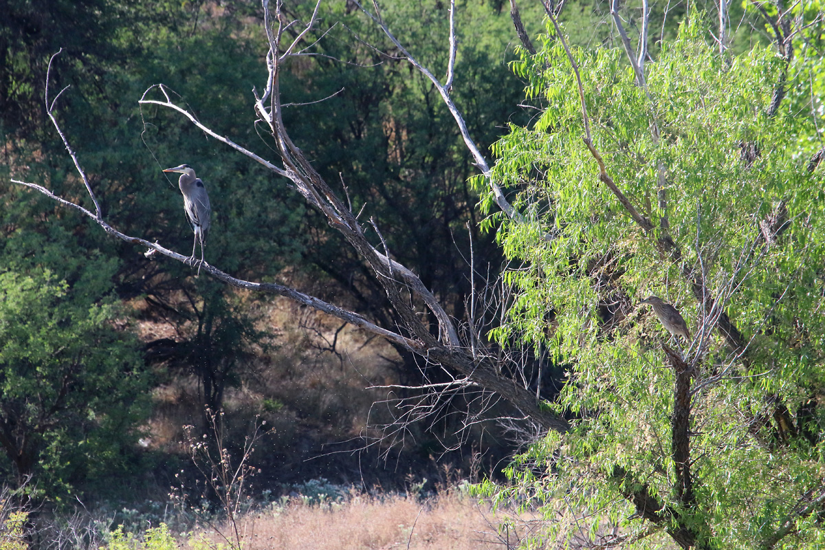 Great Blue Heron and Black-crowned Night-Heron