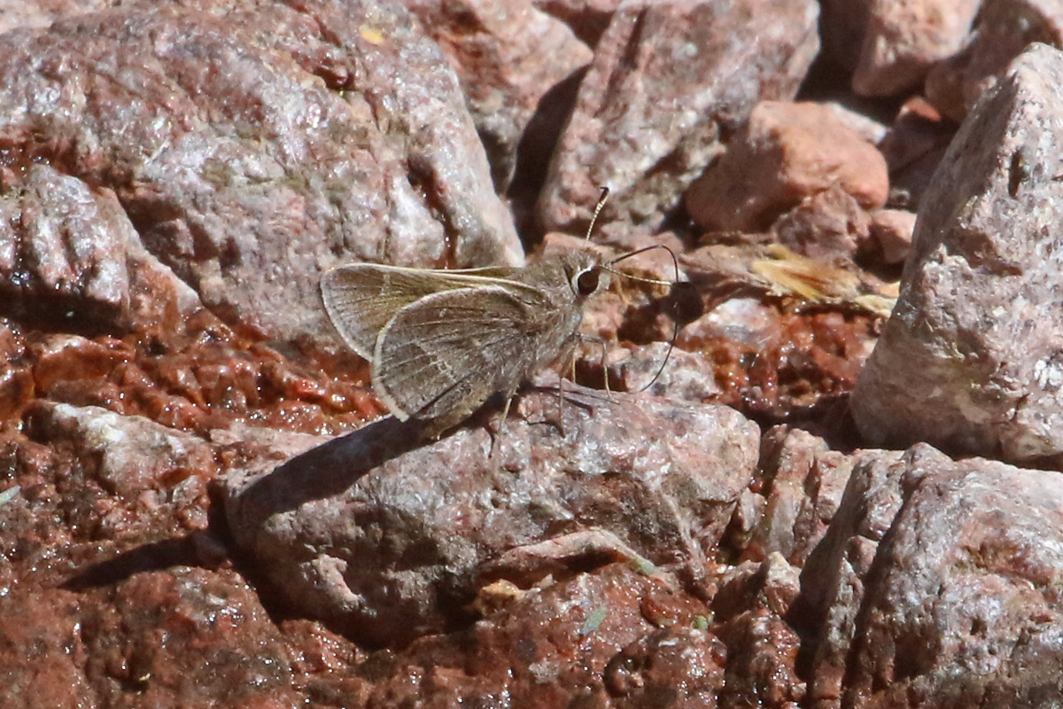skipper sp.